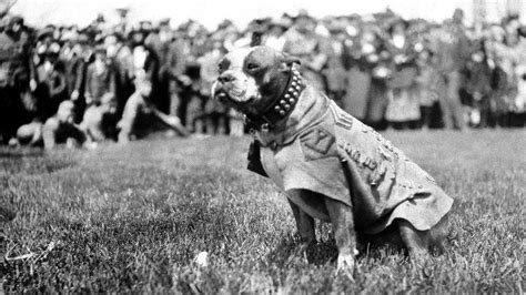 Sergeant Stubby History Why The Most Decorated In Us History Would Be Banned From Bases Today Three