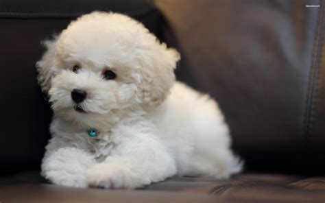 bichon frise puppy puppy bichon frise on a leather wallpapers and images wallpapers pictures photos