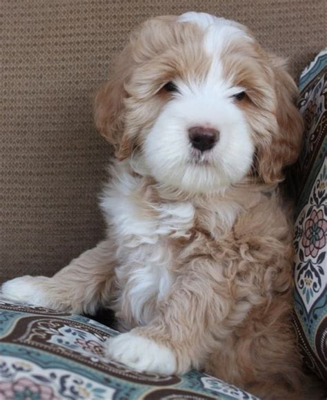doodle puppy names 25 australian labradoodle puppies you will fallinpets