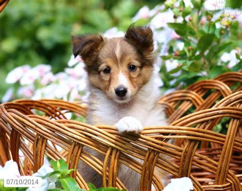 sheepdog puppies for sale in pa shetland sheepdog puppy for sale in pennsylvania shetland sheepdog