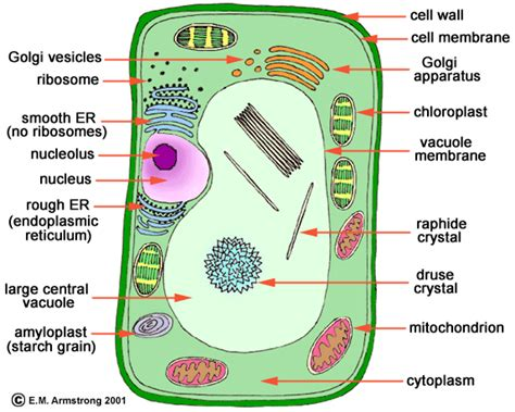 plant cells diagram lab manual exercise 1a