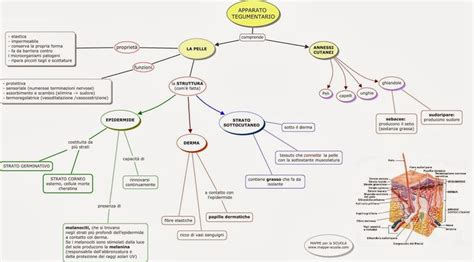 mononucleosi alimentazione mappe per la scuola la pelle l apparato tegumentario