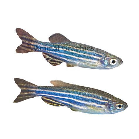 Encyclopedia Of Aquarium Pond Fish Dk Publishing Ebook E Book golden zebra danio danio rerio variety gold zebrafish guide