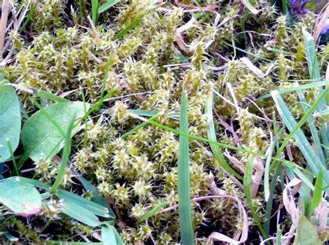 Wie Moos Im Rasen Entfernen 5110 by Moos Und Rasen Rasen Experte
