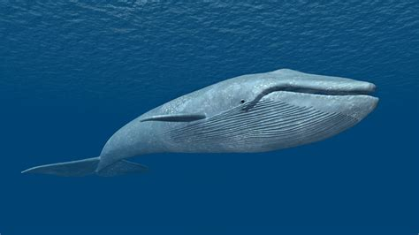 images of a whale understanding the blue whale national geographic