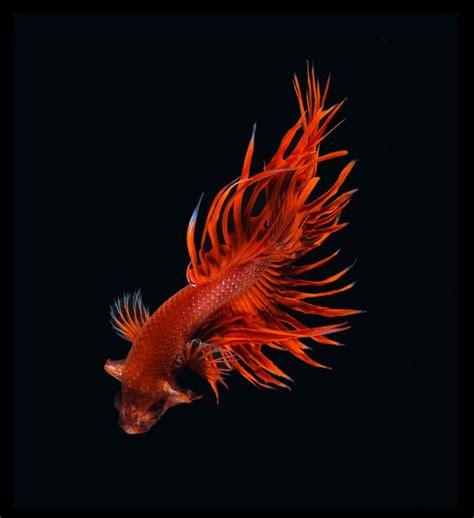 contemplez la grace sublime des poissons combattants