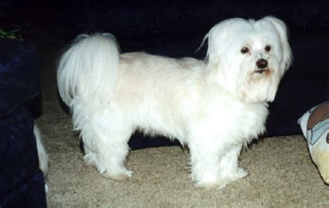 havanese white white havanese pictures to pin on pinsdaddy