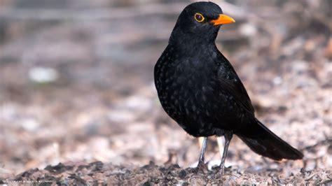 blackbird bird black hd widescreen wallpaper birds