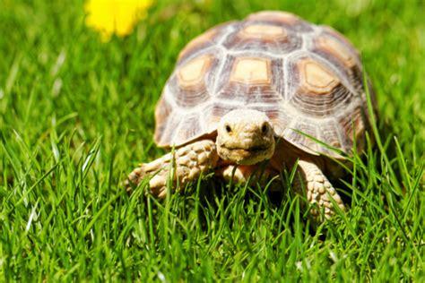 lada per tartarughe di terra le 5 cose da sapere sulle tartarughe unadonna
