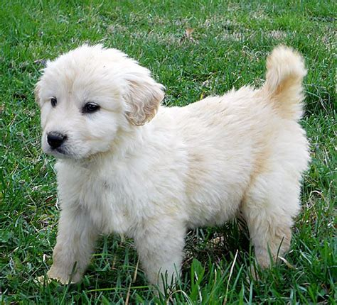 great pyrenees lab mix puppies great pyrenees and lab mix photo breeds picture