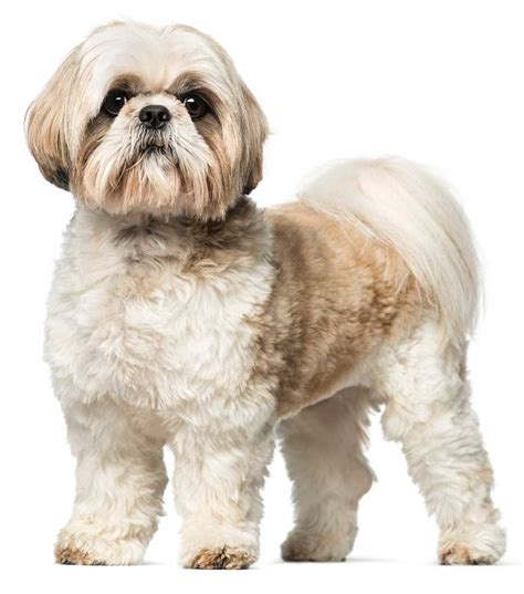 shih tzu adults shih tzu the witty organic bio certified healthy food