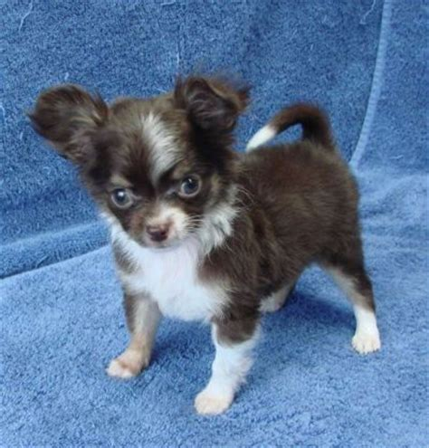 yorkie and chihuahua sociable teacup yorkie maltese and chihuahua puppies cheyenne wy
