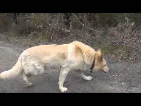 dm in dogs rear swimming gait german shepherd degenerative myelopathy or fibrotic