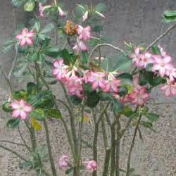 desert rose adenium obesum queensland poisons