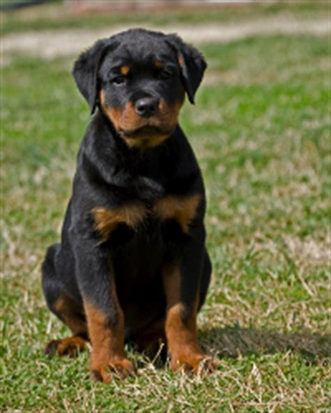 3 month rottweiler size panosteitis in dogs the cause of puppy growing pains