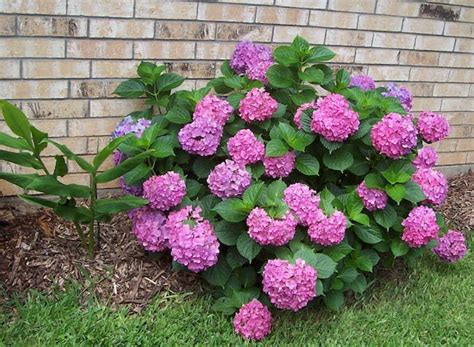 maintenance shrubs   grow