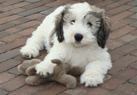 lowland sheepdog puppies lowland sheepdog info temperament puppies pictures