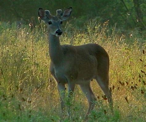 when do white tailed bucks shed their antlers