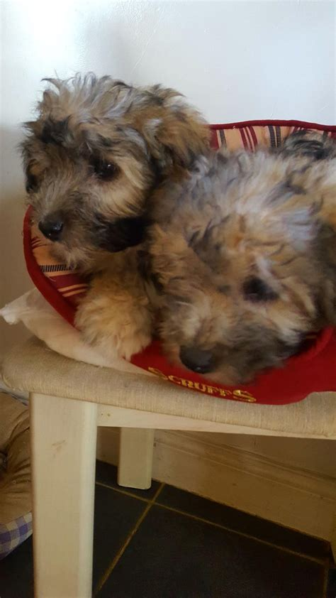 coton yorkie coton de tulear 3 4 coton yorkie tons now 750 frome somerset pets4homes