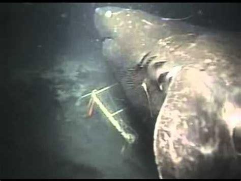 megalodon shark on by japan scientist