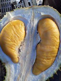 Bibit Durian Musang King Asli bibit durian musang king asli bibit durian montong