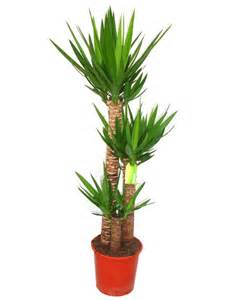 ordinary What Are Good Indoor House Plants #7: yucca-Elphantipies-available-in-1.jpg