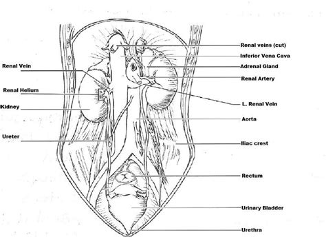 exercise  anatomy   urinary system flashcards