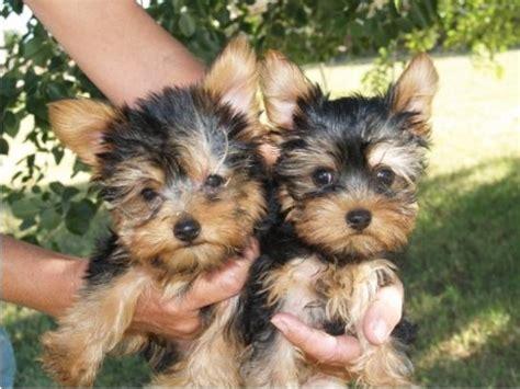 yorky en adopcion manifico y encantador cachorros yorkie en adopcion en tlaxcala anuncios clasificados