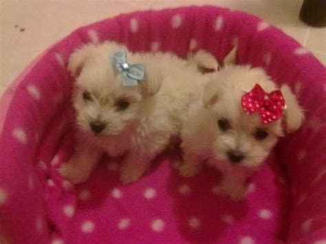 miniature maltese puppies for sale maltese miniature poodle puppies for sale east rand