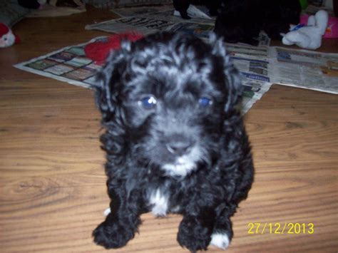 shih tzu x poodle puppies for sale shihpoo puppies for sale shih tzu x mini poodle oswestry shropshire pets4homes
