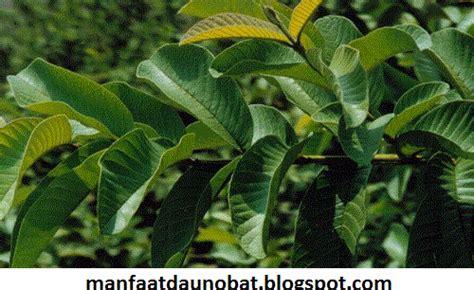 Daun Jambu Batu Segar manfaat dan khasiat daun jambu biji cara pengobatan