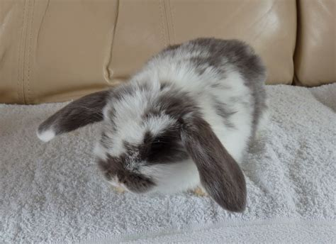 Lop Cd lilac butterfly mini lop doe for sale whitchurch
