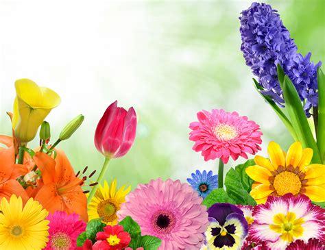 imagenes flores gerberas fondos de pantalla gerbera tulipas callas viola flores