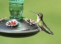 hummingbird sugar water ratio
