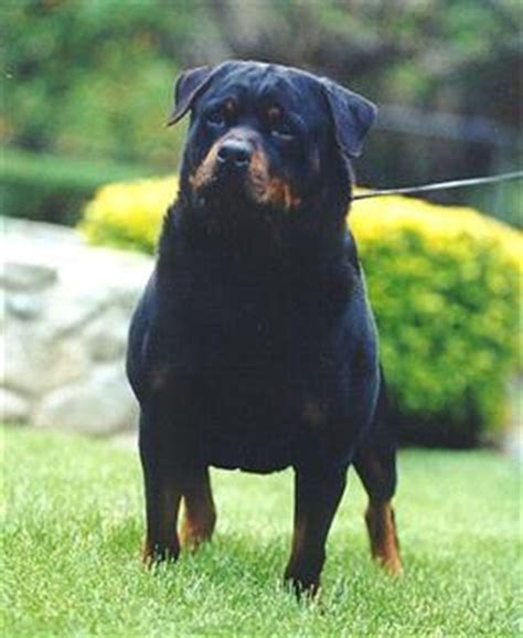 largest german rottweiler pics for gt german rottweiler in the world