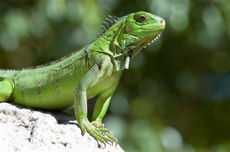 imagenes de iguanas rojas informacion sobre la iguana informacion sobre animales