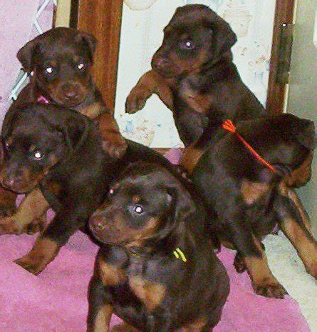 doberman puppies for adoption doberman puppies for sale breeds picture