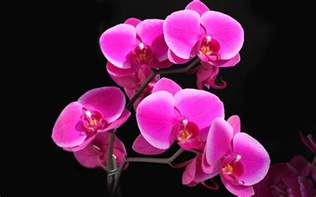 pink orchids beautiful pink orchid are bloom hd wallpaper flowers wallpapers