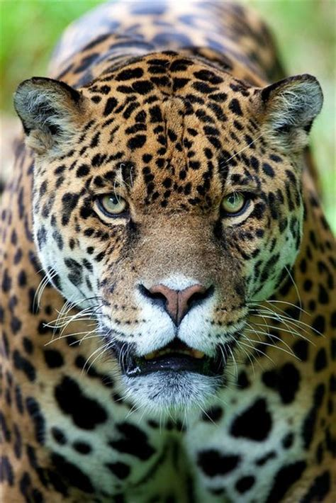 how many babies does a jaguar 17 best ideas about smiling cat on cats baby