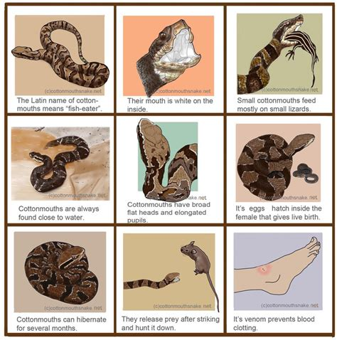 black mamba snake bites life cycle appearance and more cottonmouth snake disturbed and furiously aggressive