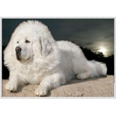 white tibetan mastiff puppies for sale tibetan mastiff breeders in new jersey freedoglistings