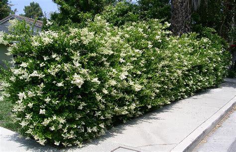alberello da giardino ligustro piante per siepi da giardino