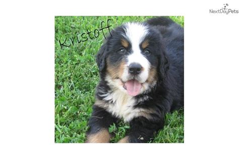bernese mountain puppies for sale near me puppy available bernese mountain puppy for sale near greenville upstate