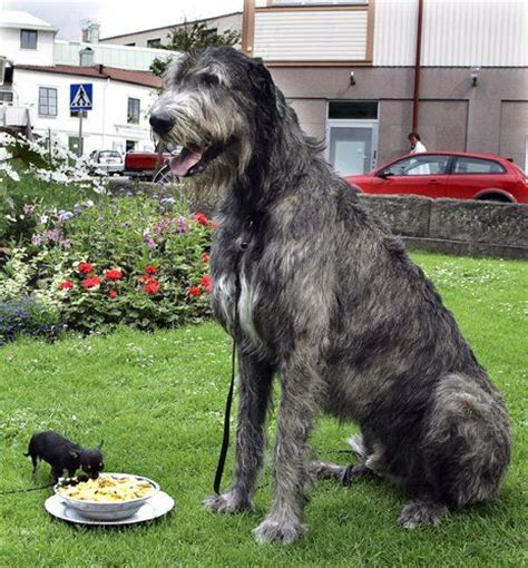 largest golden retriever on record largest wolfhound on record breeds picture
