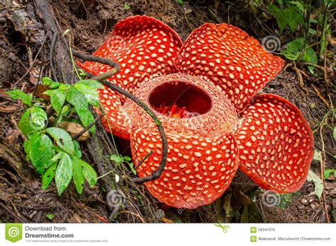 Rafflesia Bengkulu 7 rafflesia the flower in the world sumatra