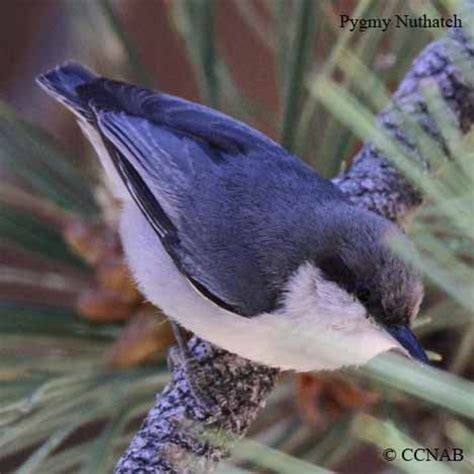 nuthatches north american birds birds of north america