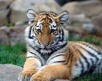 Tigers  Animals Image 20238015 Fanpop