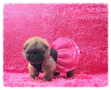 chowski puppies beautiful chowski puppies for sale pets for sale dubai city