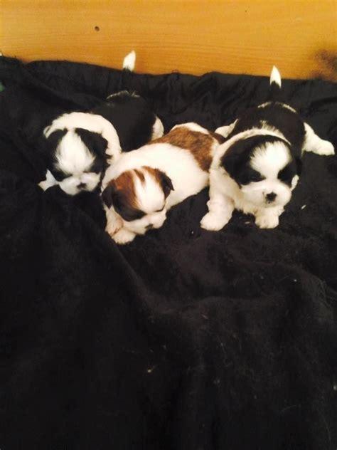 shih tzu puppies wirral for sale shih tzu puppy s wirral merseyside pets4homes
