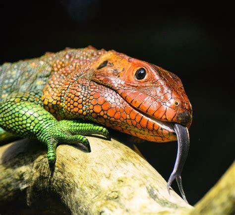 red  green lizard  image peakpx